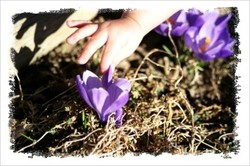 205_loes_touching_crocus